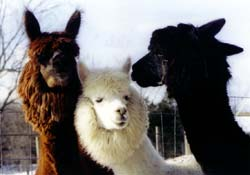 History Alpacas Group